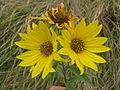 Maximillian Sunflower (12776271044).jpg