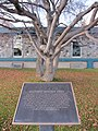 Mayday Tree (6282062264).jpg