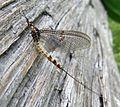 Mayfly. Ephemeroptera. ( Ephemera danica^) - Flickr - gailhampshire.jpg