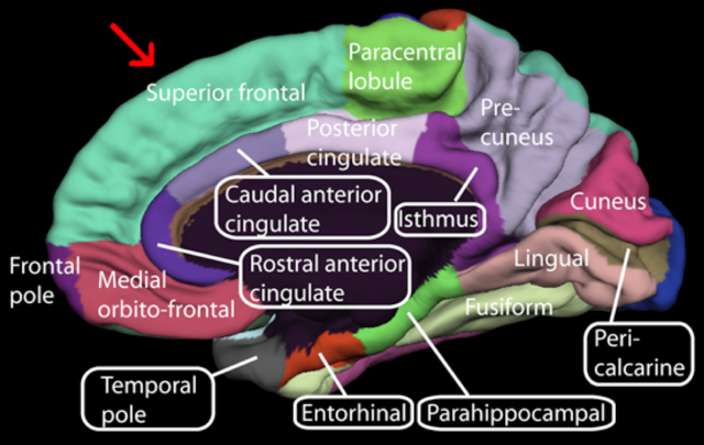 rostral anrerior cingulate(поясная извилина)