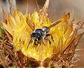 Megachile species - Flickr - gailhampshire (2).jpg