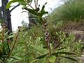 Melaleuca pyramidalis (fruits).JPG