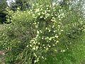 Melaleuca salicina (Nane Glen).jpg