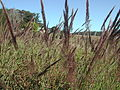 Melinis minutiflora head2 (7370772426).jpg