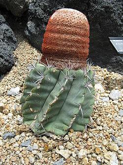 Melocactus glaucescens1.jpg