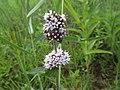 Mentha aquatica (Lamiaceae) - (flowering), Arnhem, the Netherlands.jpg