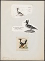 Mergus cucullatus - 1700-1880 - Print - Iconographia Zoologica - Special Collections University of Amsterdam - UBA01 IZ17700223.tif