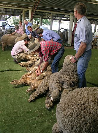 Livestock show - Merino ewes being judged in New South Wales