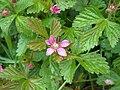 Mesimarja Rubus arcticus V08 H3986 C.jpg
