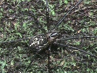 <i>Metleucauge</i> Genus of spiders