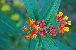 Mexican Butterfly Weed Asclepias curassavica Flowers Top 3008px.JPG