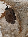 Mexican Fruit Bat (Artibeus jamaicensis) resting in a temple - Labná.jpg