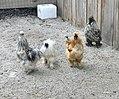 Michigan's Adventure - Funland Farm animals - June 2017 (2394).jpg
