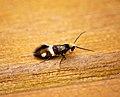 Micropterix aglaella (28824874455).jpg