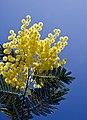 Mimosa-iledere.jpg