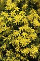 Mimosa (Acacia) (3363194611).jpg