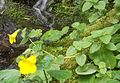 Mimulus guttatus, Common monkey-flower - Flickr - brewbooks.jpg