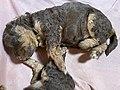 Miniature poodle puppies at three weeks sleeping (sovende, tre uker gamle valper av dvergpuddel) Norway 2021-04-19 IMG 7176.jpg