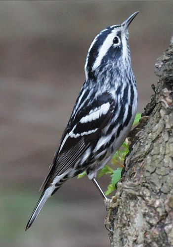 Black and White Warbler Mniotilta varia