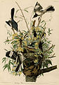 Mocking Bird (Audubon).jpg