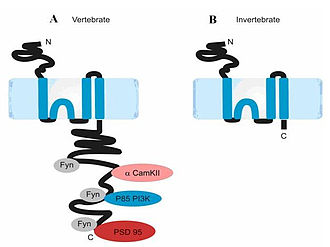 NMDA receptor - NR2 subunit in vertebrates (left) and invertebrates (right). Ryan et al., 2008