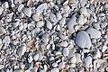 Mollusc shells on marine beach (Cayo Costa Island, Florida, USA) 14 (26111188321).jpg