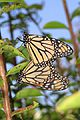 Monarch - Danaus plexippus, Meadowood Farm SRMA, Mason Neck, Virginia - 28591078004.jpg