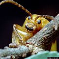 Monocesta coryli headshot.jpg