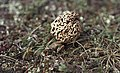 Morchella esculenta and frog, Kenfig, 22 4 1967 (31021999335).jpg