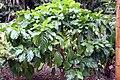 Morinda citrifolia 34zz.jpg