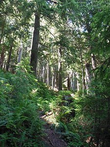 Mount June forest, Oregon.JPG
