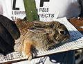 Mountain Cottontail at the Nevada Test Site.jpg
