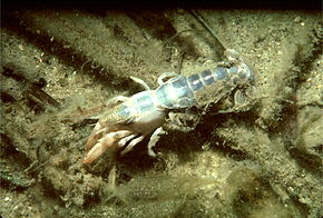 Description de l'image Mud lobster.jpg.