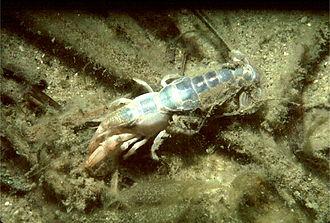 Axius serratus - Image: Mud lobster