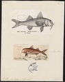 Mullus barbatus - - Print - Iconographia Zoologica - Special Collections University of Amsterdam - UBA01 IZ13000309.tif