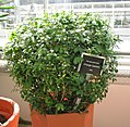 Murraya paniculata (Orange Jasmine)Alc1.jpg