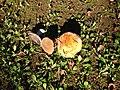 Mushroom of parnis 01.jpg