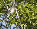 Myiarchus sagrae -Ciego de Avila Province, Cuba-8.jpg