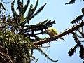 Myiopsitta monachus -Santiago, Chile -building nest-8.jpg