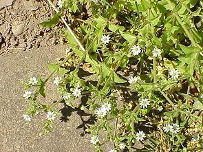 Wasserdarm (Stellaria aquatica)