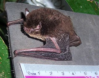 Wall-roosting mouse-eared bat species of mammal