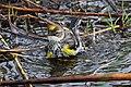 Myrtle Warbler - Dendroica coronata, Babcock-Webb Wildlife Management Area, Punta Gorda, Florida.jpg