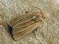 Mythimna impura - Smoky wainscot - Полосатая совка буровато-серая (40366166814).jpg
