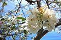 N20150401-0006—Prunus × Yedoensis 'Akebono'—Berkeley (16385936463).jpg
