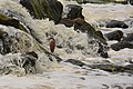 Nankeen Night Heron waiting and watching for food below the falls.jpg