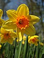 Narcissus sp 2010-04-2010.JPG