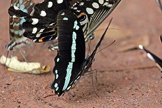 Papilio nireus - Image: Narrow banded green swallowtail (Papilio nireus nireus)
