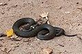 Nastik - Grass snake - Natrix natrix (3).jpg