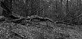Nationaal Park Drents-Friese Wold. Locatie Dieverzand. Dode boom, belangrijke voedselbron in evenwichtig biotoop 002.jpg