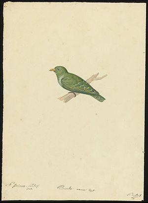 Fruit dove - Dwarf fruit dove (Ptilinopus nainus), Lobo, New Guinea, 1828